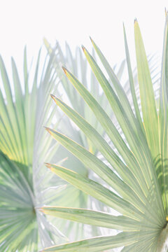 Green Fan Palm at Los Angeles County Arboretum in Arcadia California