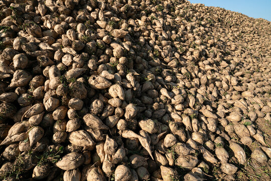 sugar beets in frankonia autumn