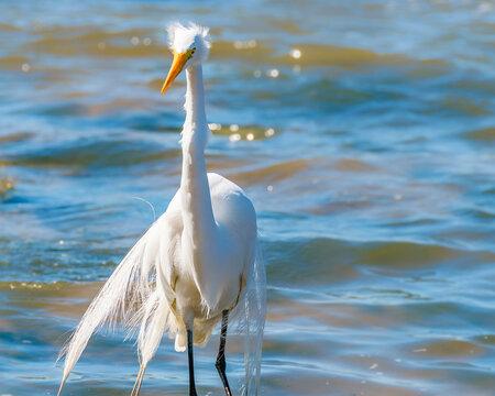 White Stork At Coast Beach, Montevideo, Uruguay