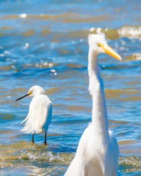 White Storks At Coast Beach, Montevideo, Uruguay