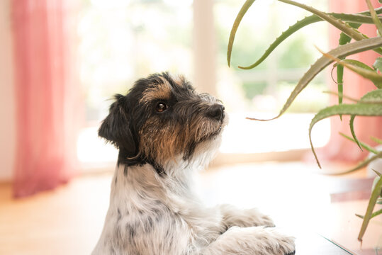 Dog sitting in an apartment and looking at an aloe vera plant - Purebred Jack Russell Terrier 3 years old
