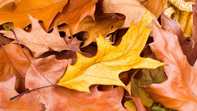 Golden colored autumn background. Leaves of northern red oak tree. Quercus rubra. Yellow dry fallen leaf on rust brown withered foliages in realistic natural texture. Beautiful november nature detail.