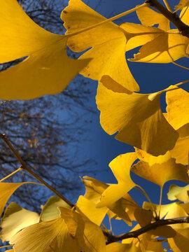 Ginkgo biloba Blätter in gelber Herbstfärbung