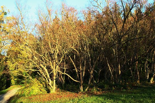 Group of naked broadleaf black birch trees, also called river birch or water birch, latin name Betula Nigra, in afternoon sunshine during early november autumn season.
