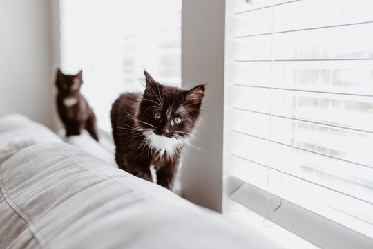 two black kittens walking on back of grey couch in front of window