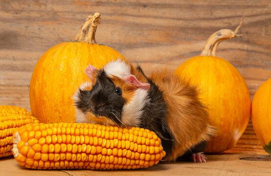 cute little guinea pig in autumnal pumpkins