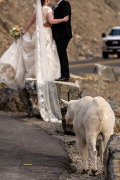 Mountain Goat Waits Patiently for Wedding Photos