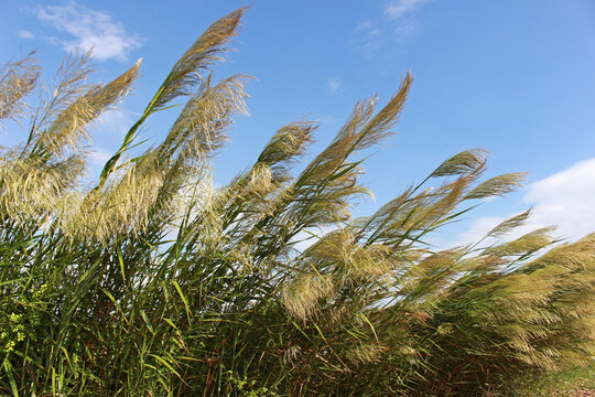 Pampas grass bowing in the wind against a blue sky background