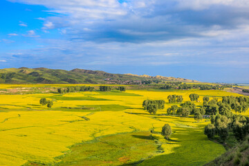 Beautiful rapeseed flower field scenery on the grassland