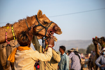 camel and his owner at pushkar camel festival.