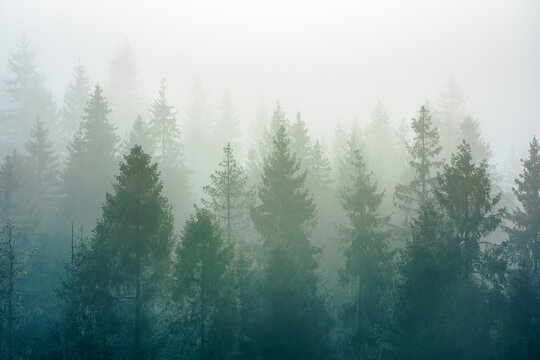 spruce trees among the morning fog in winter. beautiful nature in cold season. moody dramatic weather