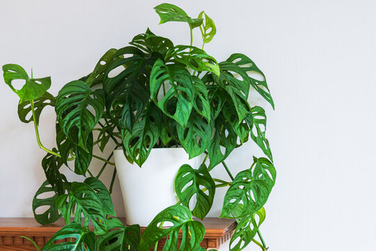 Lush monstera adansonii (monstera monkey mask) plant on a shelf indoors. Swiss cheese plant with fenestrations in leaves on a white background.