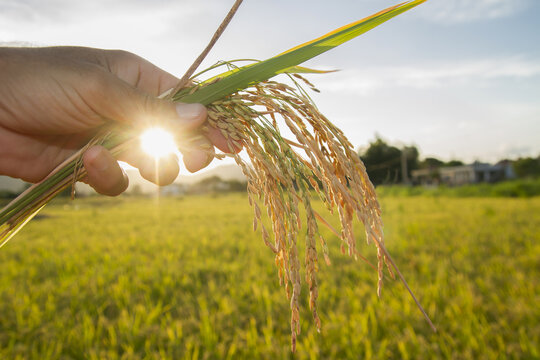 beautiful sunset in a rice field ,hand holding rice ears or plant close up in a rice field with sun flare and blurred background