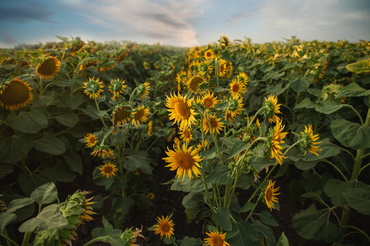 Sunflowers field under cloudy blue skies in summer