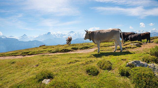 cows at alpine meadow Niederhorn mountain, swiss alps