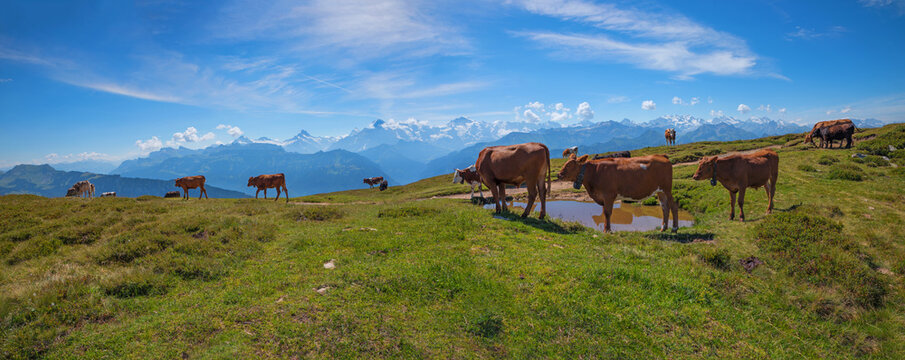 group of milker cows at alpine pasture Niederhorn mountain, with view to bernese alps and glacier