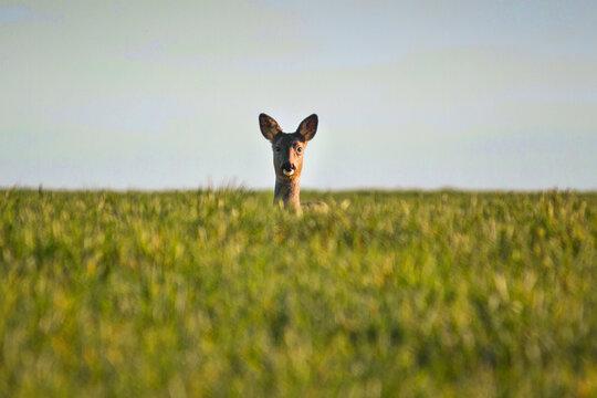 Roe deer looking at camera in green field