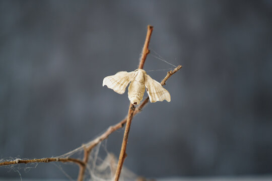 Close-up of silkworm butterflie on the branches of a plant. concept of nature