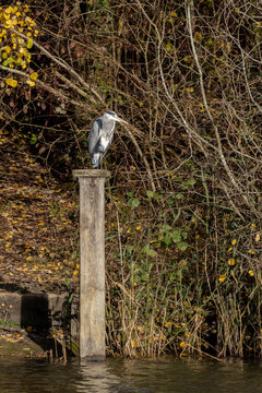 Grey Heron standing on a wooden post by a lake in sussex
