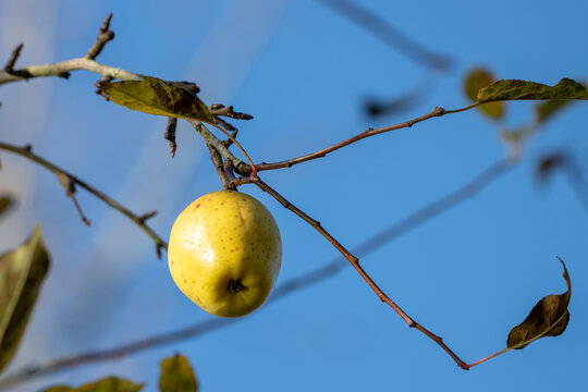 Ripe wild yellow apple on a tree by Cripplegate Lake in sussex