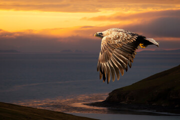 White-tailed eagle in flight at sunset