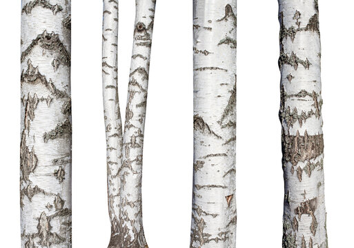 set of natural birch trunks isolated on white background