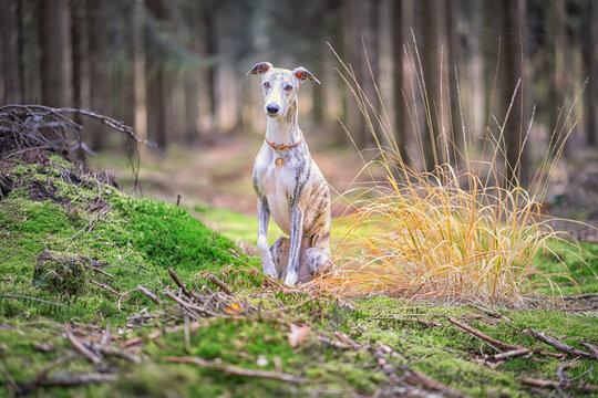 junge hübsche Whippet Hündin im Wald,