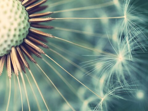 macro photo of a dandelion on a blue background