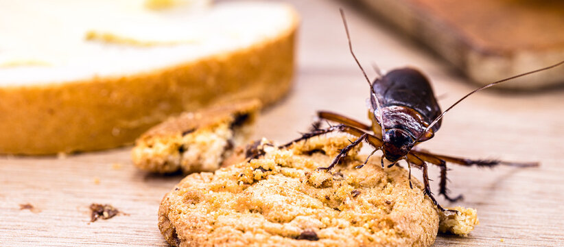 Ordinary American cockroach, walking on table with scraps of food, feeding on crumbs. Concept of lack of hygiene at home, need for pest control