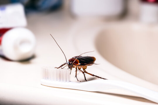 American cockroach feeding on toothbrush. Night insect indoors, concept of pest control and bacterial contamination