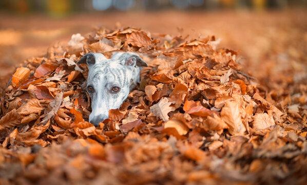 Whippet Hündin in einem Haufen Herbstblätter
