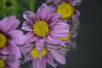 Kosmos kwiaty w lustrze ciemne  tło makro