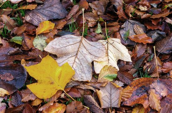 Buntes Herbstlaub mit Ahornblättern, Hintergrund