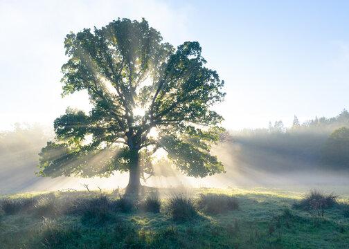 Old oak erupting with light