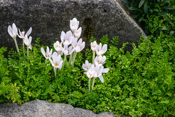 White autumn crocus blooming in a rock garden, as a nature background