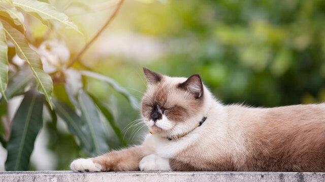 Scottish fold cat resting in garden