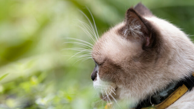 Close-up of Scottish Fold kitten in the garden