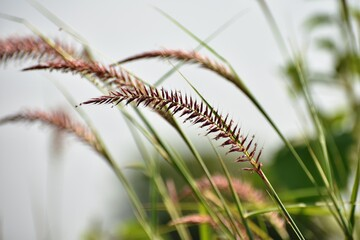 Close up of Purple fountain grass flower on the garden