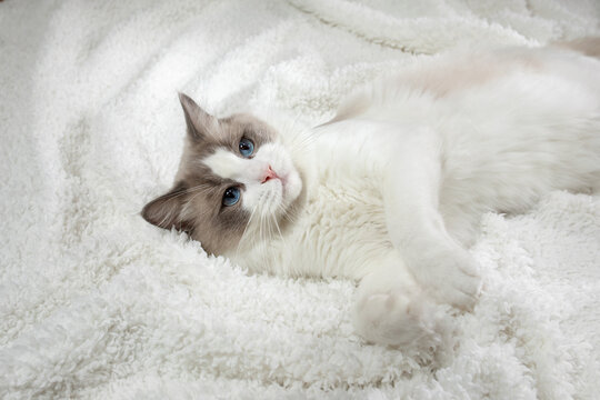 fluffy kitten on white in a plaid. Bicolor Rag Doll Cat
