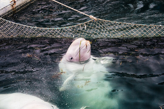 A lone white whale with scars in a whale's prison. White whale with scars on his face. The lone white whale in captivity from Russia