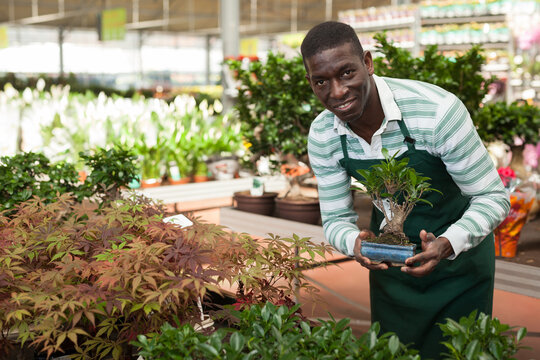 Experienced African American male florist working in garden store, checking potted ginseng ficus in bonsai style