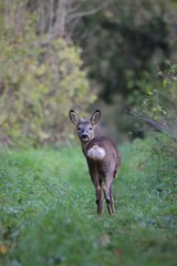 Young wild roe deer looking at camera