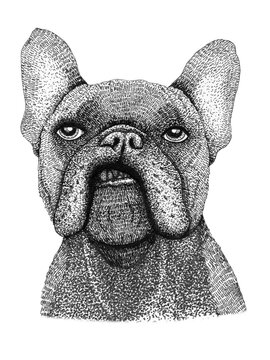 sad french bulldog dog head hand drawn illustration. Ink black and white drawing, isolated