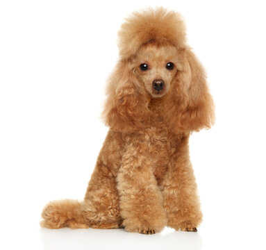 Red poodle on a white background