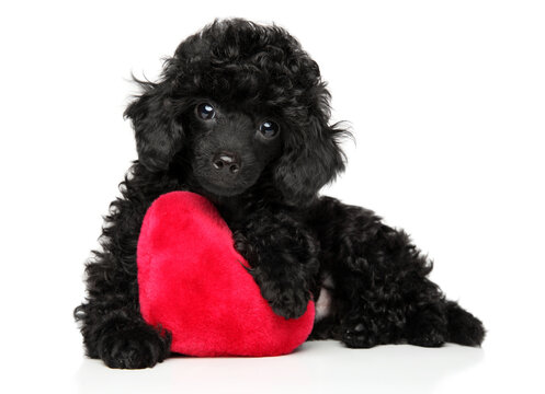 Toy poodle with a red heart