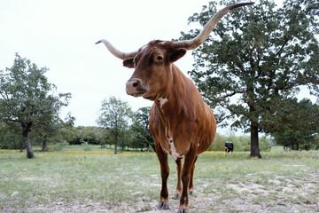 Wall Mural - Texas longhorn cow looking regal close up.