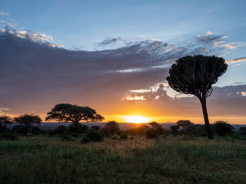 Candelabra tree (Euphorbia candelabrum) at sunrise in Tarangire National Park, Tanzania