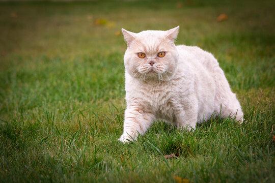 British cat walking on the street