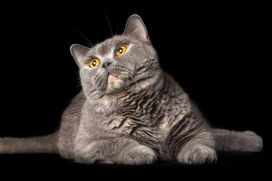 British cat on the black background