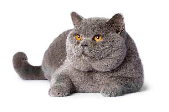 British cat on the white background